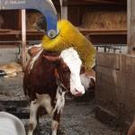 Kuh genehmigt sich eine «Massage»