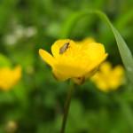 Gänseblümchen mit Insekt