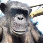 Schimpanse holt eine Drohne vom Himmel